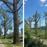 Sicherheitsschnitt an Pappeln am Neckarufer (Update 2)
