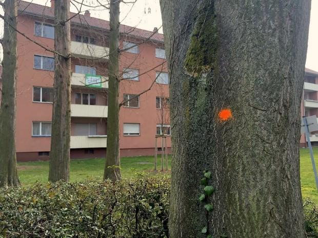 Rot oder Orange – Reparieren oder Fällen. Dieser Baum in der Carl-Benz-Straße hat mittelfristig eine ungewisse Zukunft | Foto: Neckarstadtblog