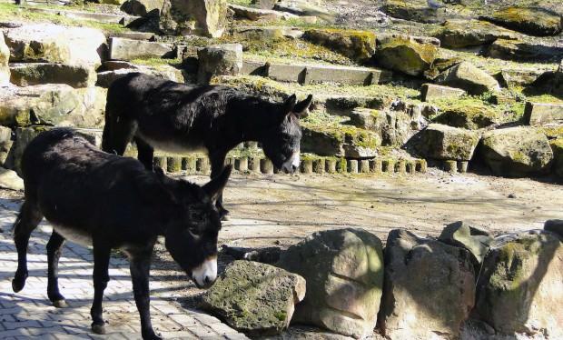 esel im herzogenriedpark 620x374 - Tierspaziergänge – mit Esel und Pony über die Wiese