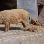 Nachwuchs bei den Wollschweinen