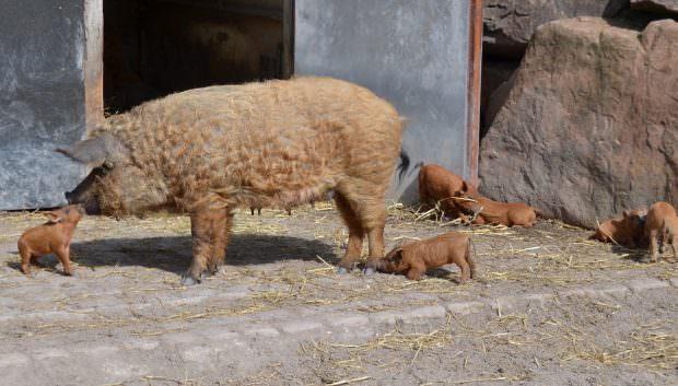 Küsschen für Mama Wollschwein | Foto: Stadtpark Mannheim gGmbH