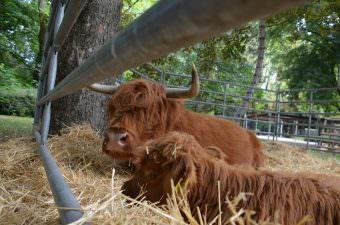 Nico Xanthoupolos, Chef-Tierpfleger im Herzogenriedpark, präsentiert dieses Jahr auch seine legendären Schottischen Hochlandrinder | Foto: Stadtpark Mannheim gGmbH