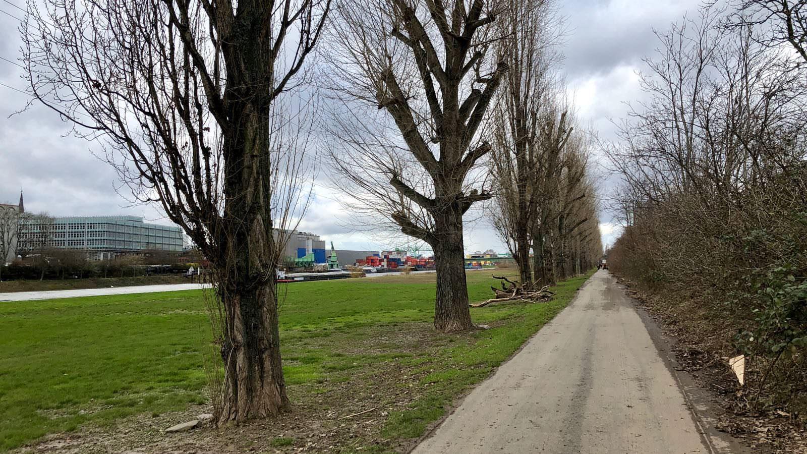 Bis nächstes Jahr wird wohl keine der Pappeln mehr stehen. Im Februar werden zunächst 24 von 63 Bäumen gefällt, der Rest folgt voraussichtlich in der nächsten Wintersaison | Foto: M. Schülke