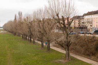 Traurige Nachricht: Etwa ein Drittel des Pappelbestands am Neckarufer wird gefällt | Foto: CKI