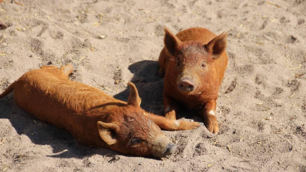 Zehn Wochen alte Wollschweinferkel genießen die Sonne | Foto: Elmar Herding